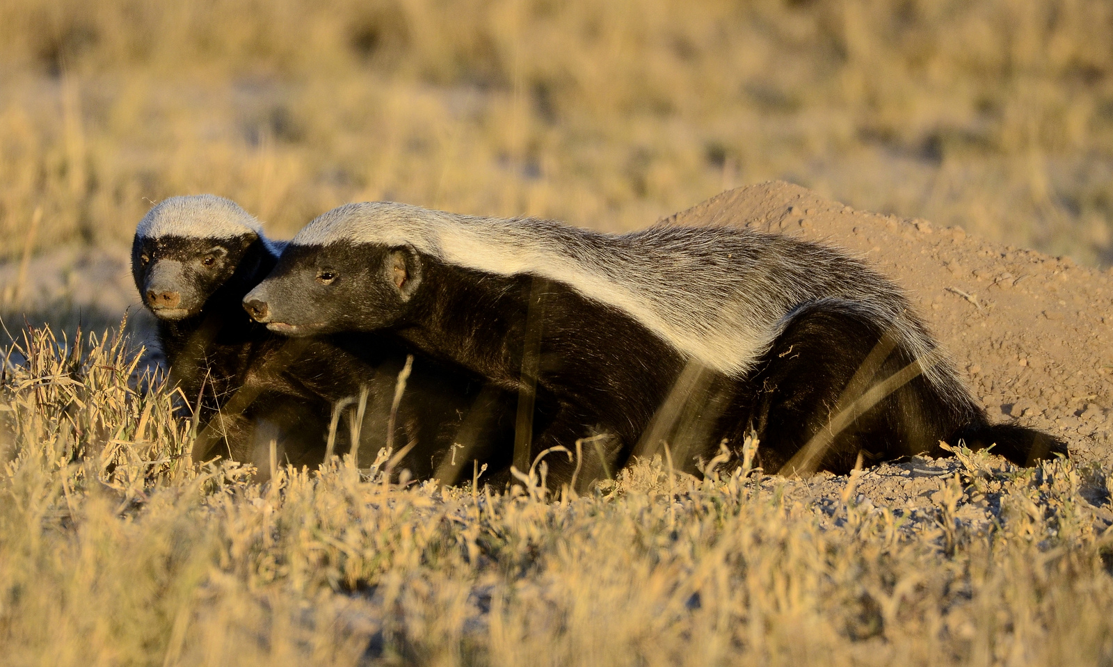 sweet conservation success for south africa u0027s honey badger word